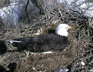 bald eagle live feed